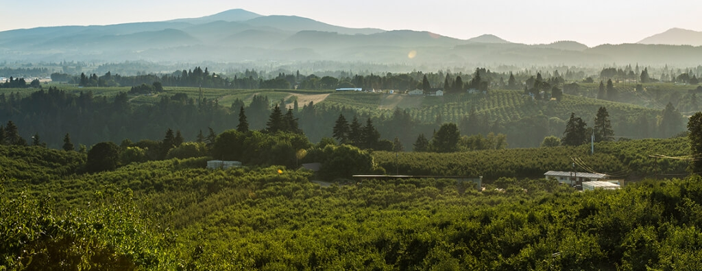 Pear Orchard Panorama